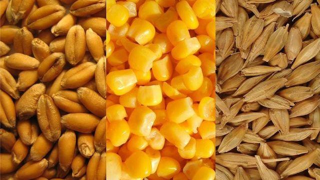 Зерно ячмень кукуруза пшеница 40грн/ведро