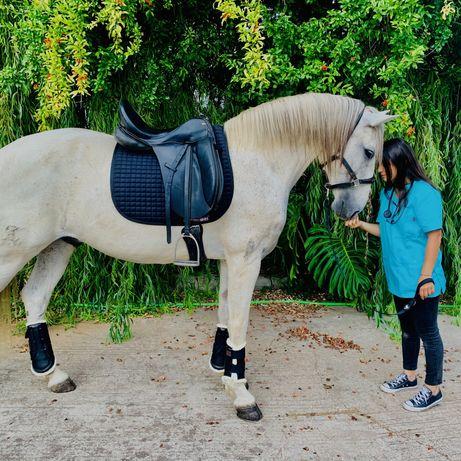 Cavalo lusitano - Ruço - 14 anos
