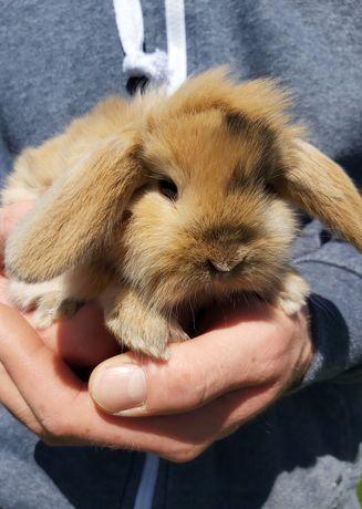 Śliczne miniaturki dwa króliczki
