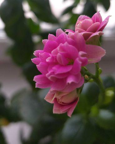 каланхоэ декоративное ярко-розовое