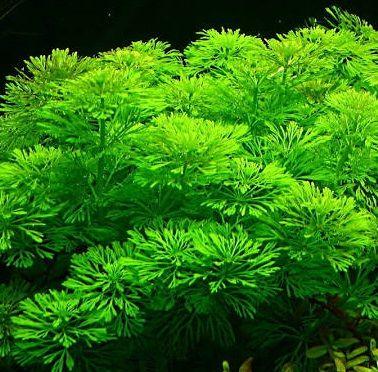 Limnophila sessiliflora - roślina akwariowa