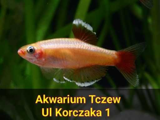 Kardynałek chiński złoty ul Korczaka 1 Tczew