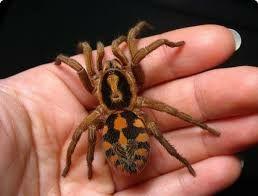 """Паук  Hapalopus sp. """"Columbia gross L 7 самка"""