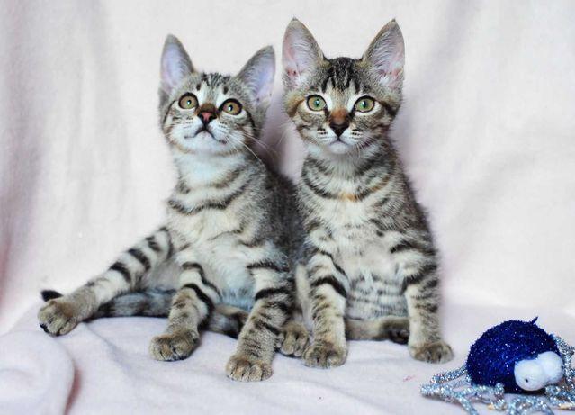 отдам котенка, мальчик, девочка, по 5 месяцев