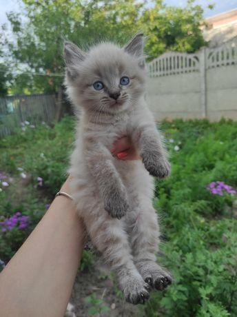 Котята, милі, пухнасті, народилися 26.05.2021