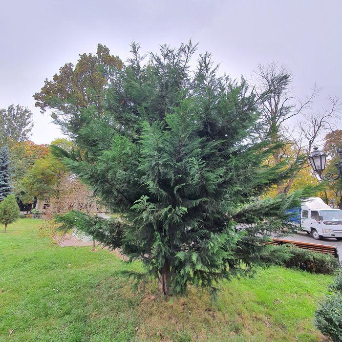 Озеленение благоустройство посадка пересадка деревьев Одесса - изображение 1