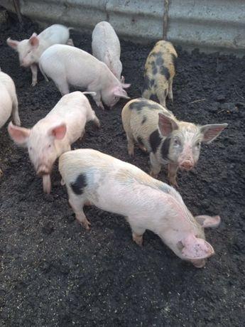 Поросята мясной породи