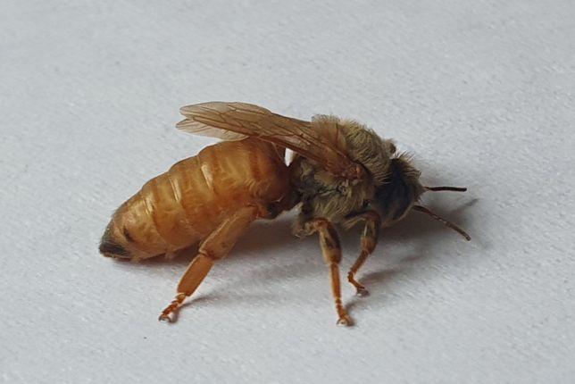 Matki Pszczele WŁOSZKI  1 gratis przy zakupie 10 szt