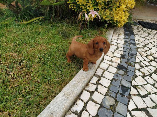 Fêmea Teckel dachshund