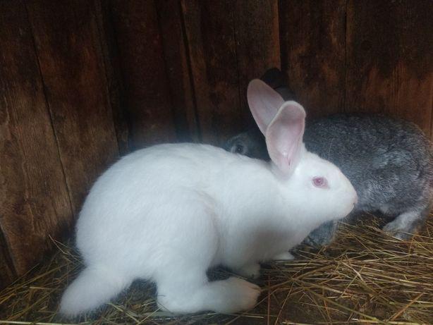 Продам кролів домашніх