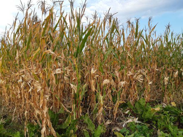 Стебла кукурудзи