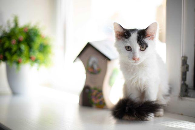 Ласковая бело-серая кошечка ищет семью, 3 месяца, котенок, кошка