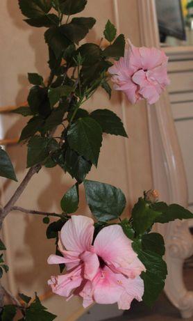 Гибискус Classic pink