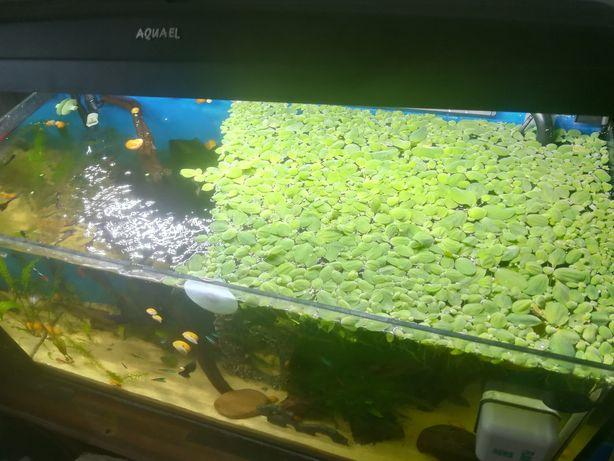 Sprzedam roślinki oraz ślimaki ampularie do akwarium