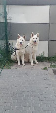 Девочка БШО, 10 месяцев, Белая Швейцарская Овчарка