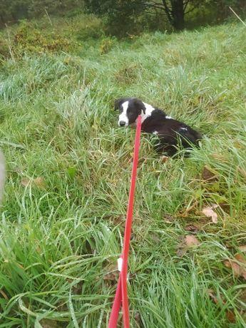 Piesek biało-czarny Border collie szuka nowego domu.