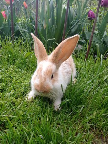 Sprzedam małe króliki/kroliczki