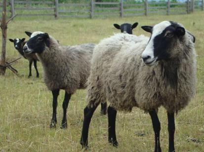 Вівці Романівські м'ясо та живим весом