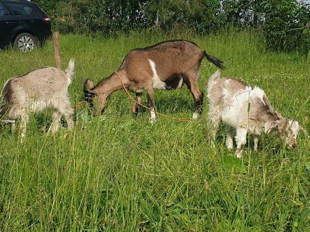 Sprzedam kozy roczną matkę z dwiema młodymi