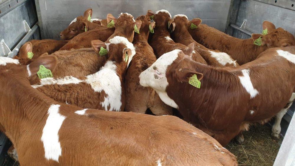 Sprzedam  cieleta byczki miesne ! Kuczki Kolonia - image 1