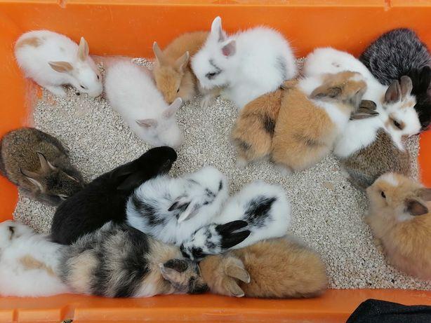 Kit do amor coelhos anões mini pequenos