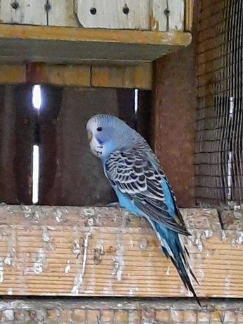 Papużka falista pół WPF