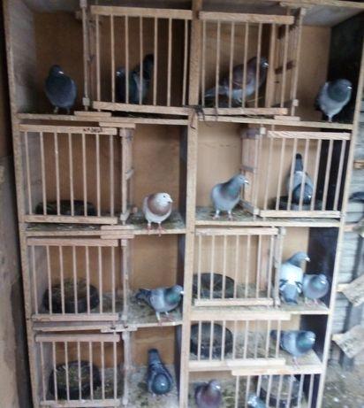 Gołębie pocztowe - samce, samiczki