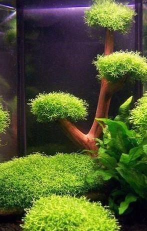 Wgłębka Rogatek i Rzęska wodną  roślinki akwarium rybki zamienię