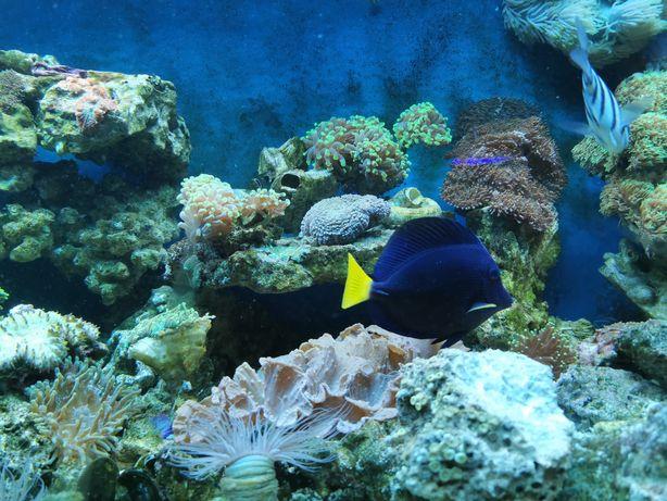 Zebrasoma Xanthurum akwarium morskie