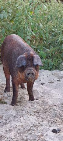 Продам поросят хрячков свинок поросята Дюрок