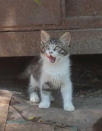 Очаровательная пушистая котёнок-девочка ищет дом! Возраст-2-2,5 мес.
