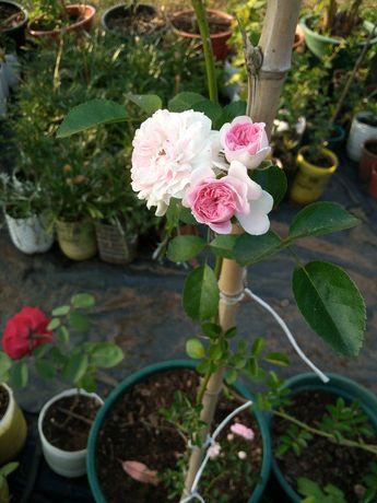 Roseiras! Brancas, amarelas, cor de rosa e vermelhas