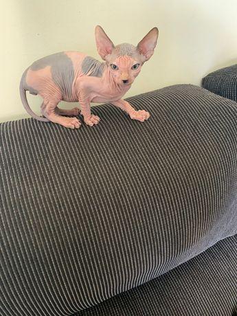 Sphynx gato sem pelo