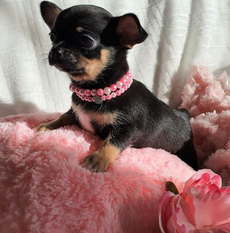 Chihuahua Suczka Super Przepiękna, Rodowód Mini! do 2,0kg.