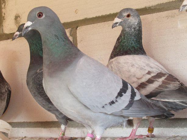 gołębie pocztowe samica