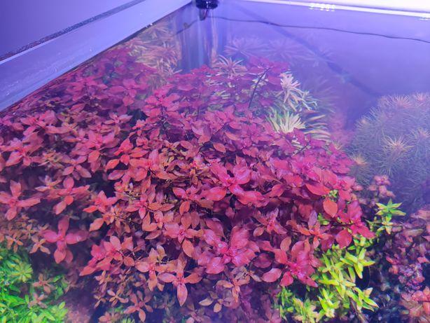 ludwigia mini super red hodowla własna podwodna