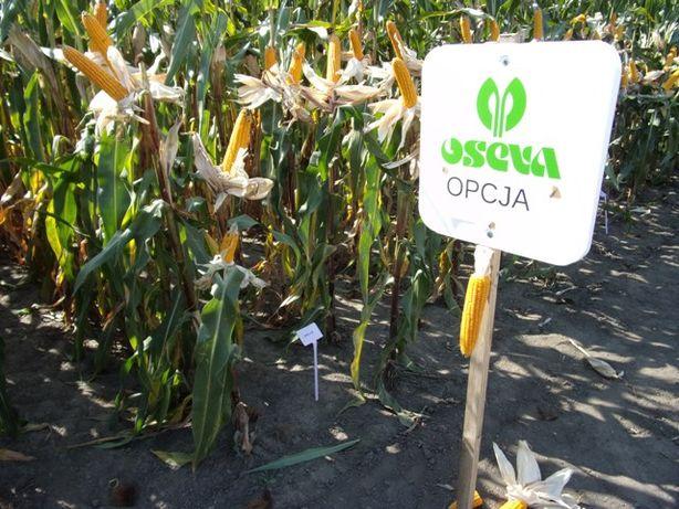 Nasiona kukurydzy kukurydza OPCJA kiszonka Ziarno FAO 240 80tys