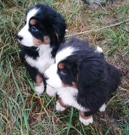 Berneński Pies Pasterski szczeniaki