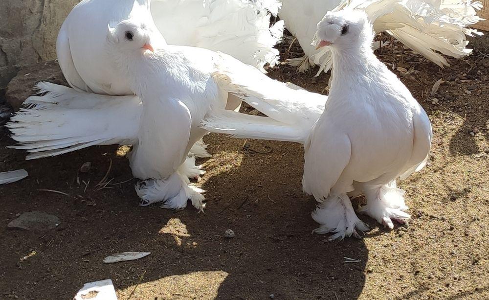Продам пару Ейских двочубых статных Ананьев - изображение 1