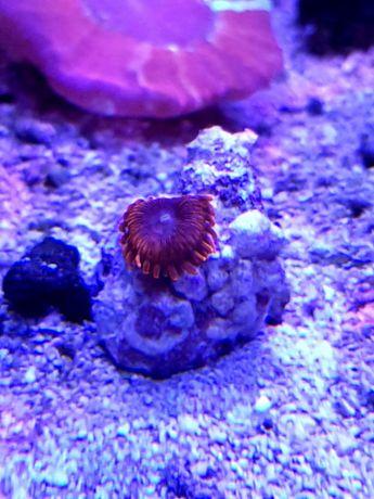 Zoanthus Orange Delight akwarium morskie