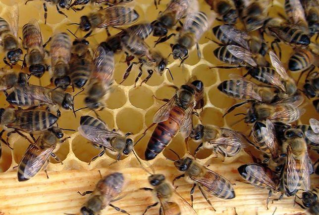 Matki pszczele Elgon