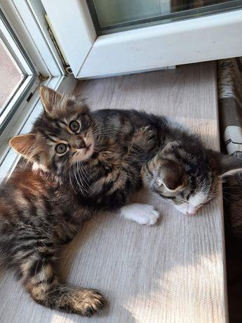 Котята мальчики в хорошие руки бесплатно. Котенок даром. Срочно!