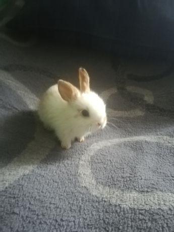 Sprzedam króliczki moniaturki