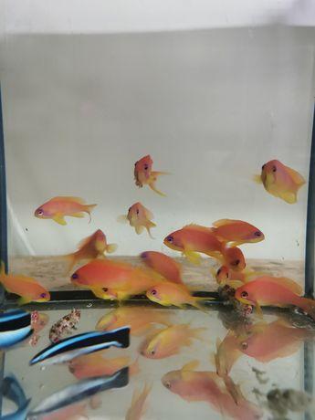 Pseudanthias Squampinnis akwarium morskie