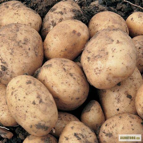 Велика картопля продам