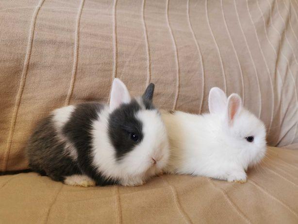 KIT coelhos anões mini holandês, minitoy e angorá, vacinados
