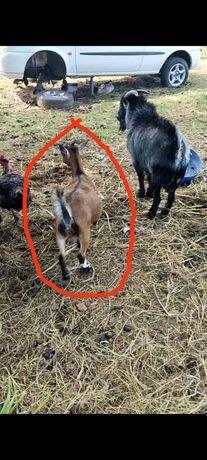 Cabras anãs fêmeas