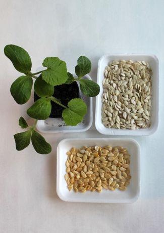 nasiona dyni hokkaido/olbrzymia/biała -30 szt/paczka -99% kiełkowania!