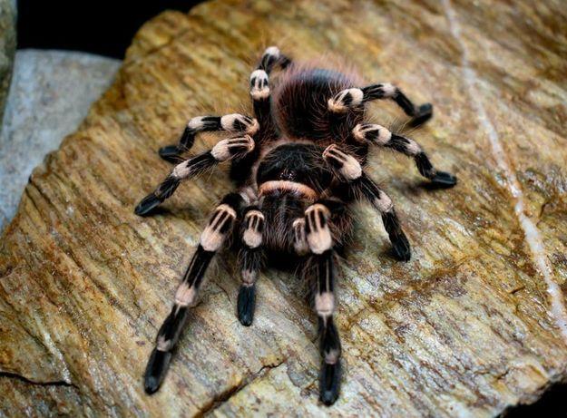 Самка паука птицееда для новичков Acanthoscurria geniculata