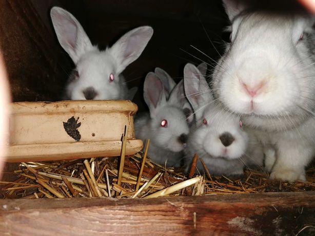 Śliczne króliki rasy kalifornia-termondzkie